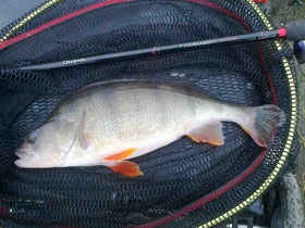 Aire and Calder Canal Perch in net